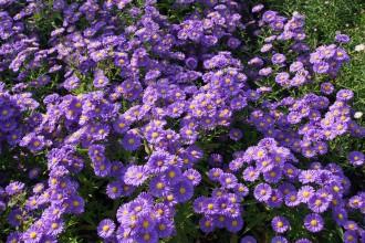 Chrysanthemum  'Venus'