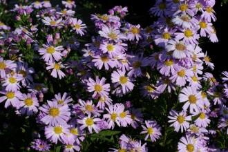 Chrysanthemum  'White Bouquet'