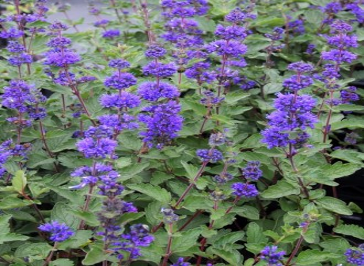 Chrysanthemum  'Bronzekrone'