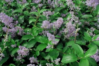 Chrysanthemum  'Cinderella'