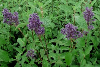 Chrysanthemum  'Chamois Rose'