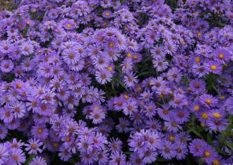 Chrysanthemum  'Kleiner...