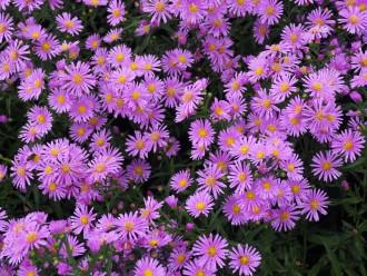 Chrysanthemum  'Manito'