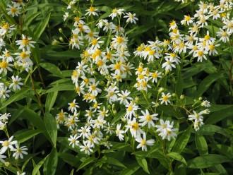 Chrysanthemum  'Rehauge'