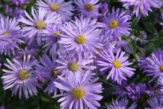 Chrysanthemum  'Schaffhausen'