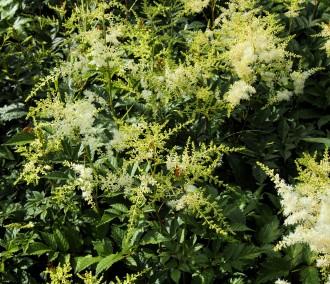 Chrysanthemum  'Weiße...