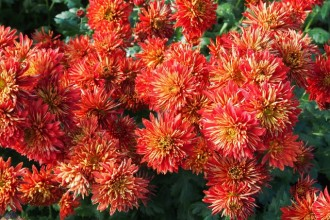 Cistus incanus subsp. tauricus