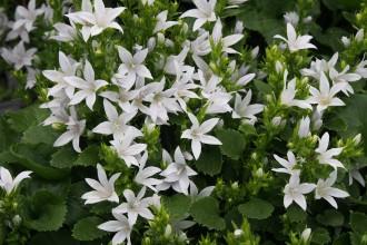 Delosperma  'Krone Orange'