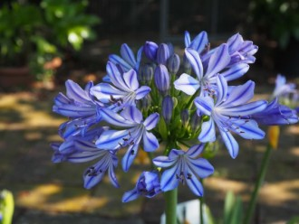 Agapanthus  'Twister'