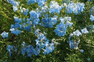 Echinacea purpurea...