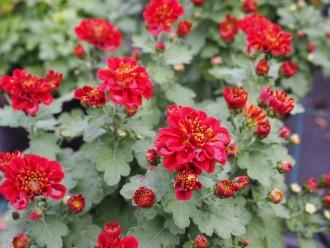 Echinacea purpurea 'White...