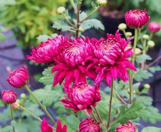 Epimedium pubigerum 'Orange...
