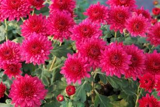 Eryngium giganteum 'Silver...