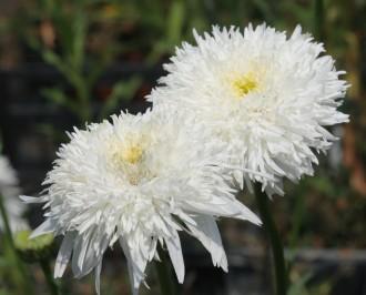 Euonymus europaeus 'Red...