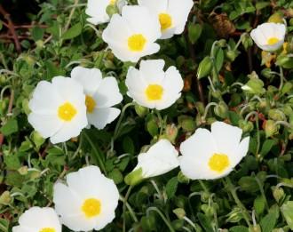 Euphorbia amygdaloides...