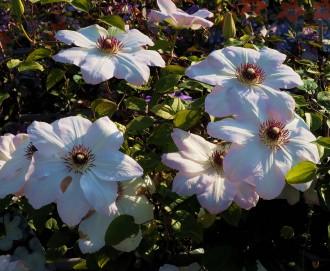 Begonia grandis var....