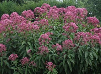 Geranium thumbergii...