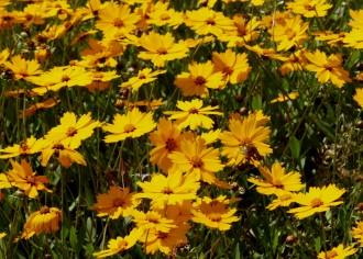 Geranium hybridum 'Brookside'
