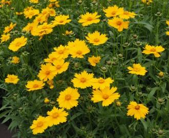 Geranium hybridum 'Prelude'
