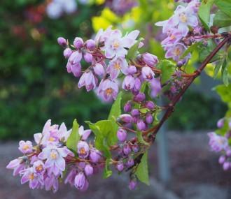 Helichrysum italicum subsp....