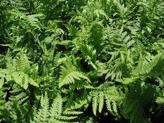Hemerocallis hybrida...