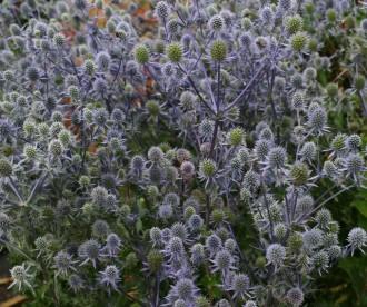Hosta hybrida 'Fringe Benefit'