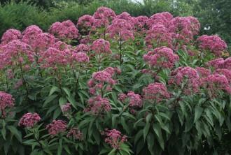 Hosta hybrida 'Summer Breeze'