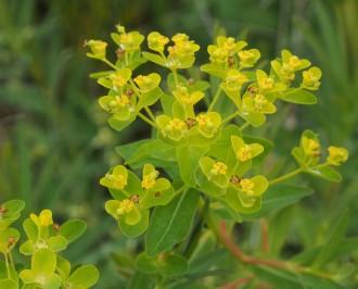 Hydrangea arborescens 'Ruby...