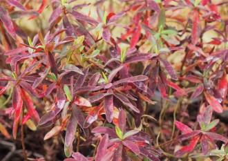 Hydrangea arborescens...