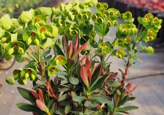 Hydrangea  'Douce France'