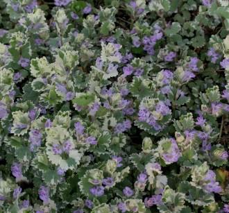 Iris spectabilis