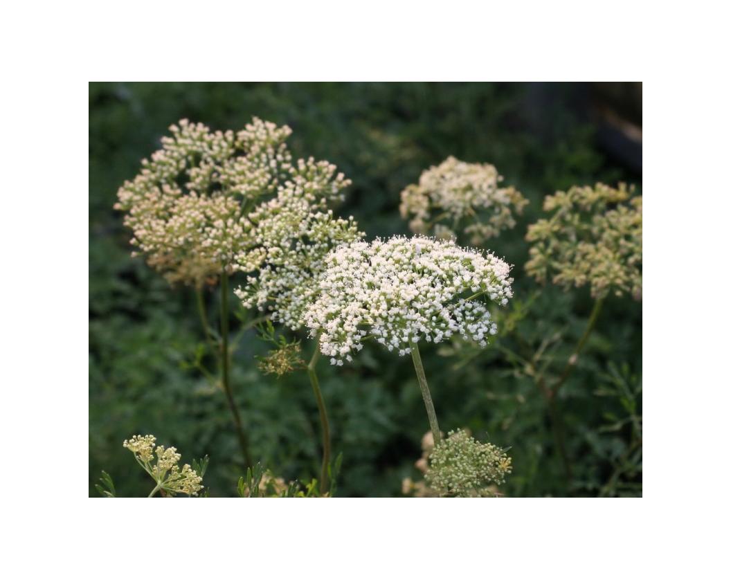 Cenolophium denudatum
